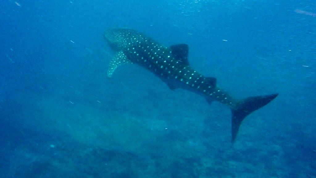 W poszukiwaniu rekina wielorybiego
